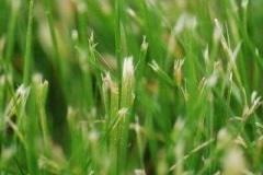 lawn-cut-wDull-blades