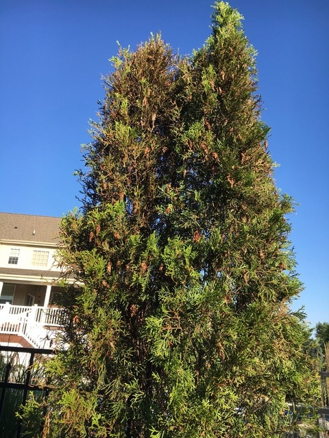 Arborvitae Treated for bag worms - After