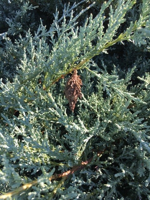 Arborvitae infected w_bag worms-Before