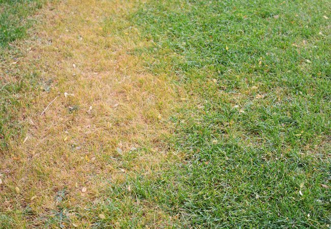 Fungus Control Lawn Care Bohonyi Landscaping